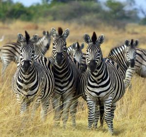 church design zebras